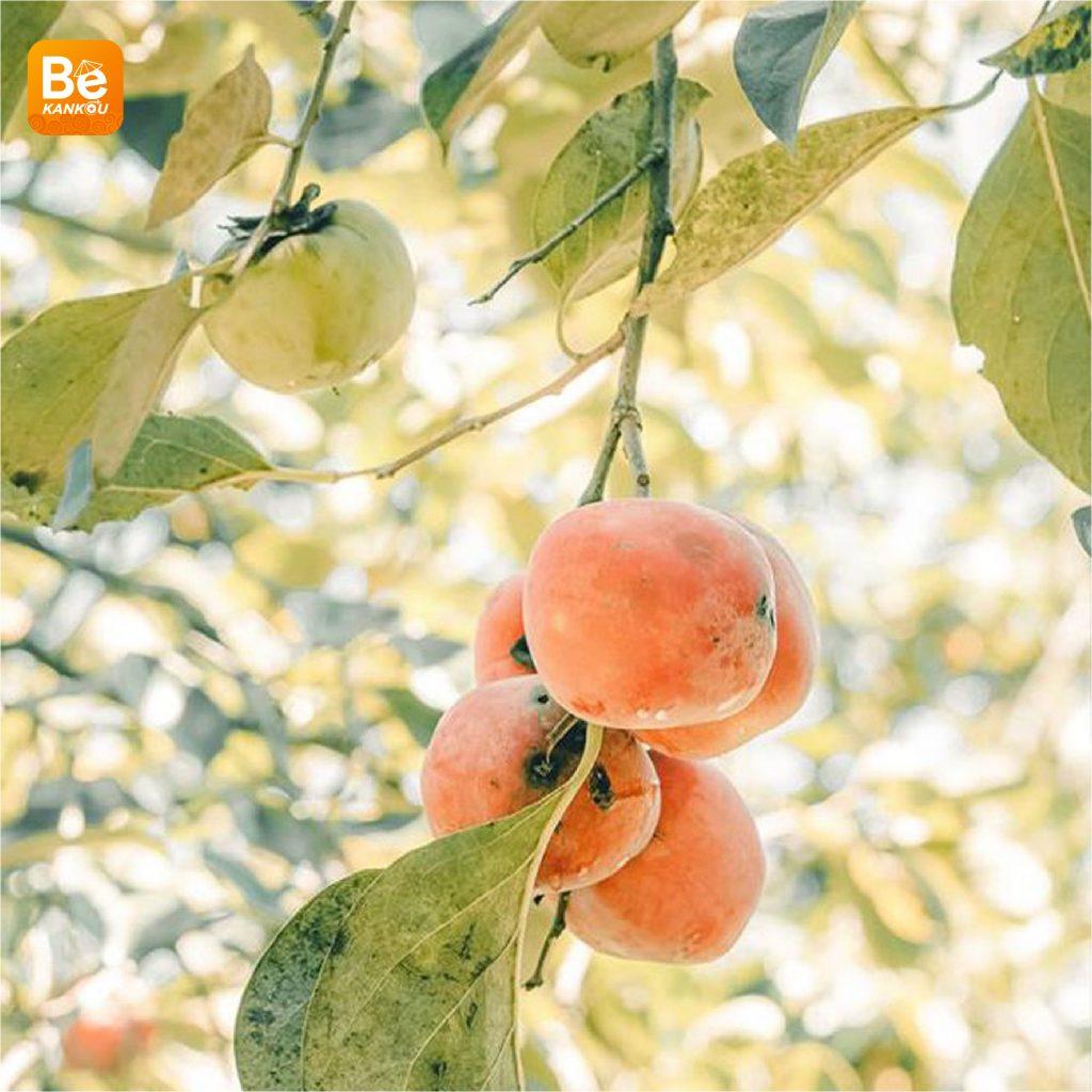 ダラットの「妖精の楽園のような柿畑」-217