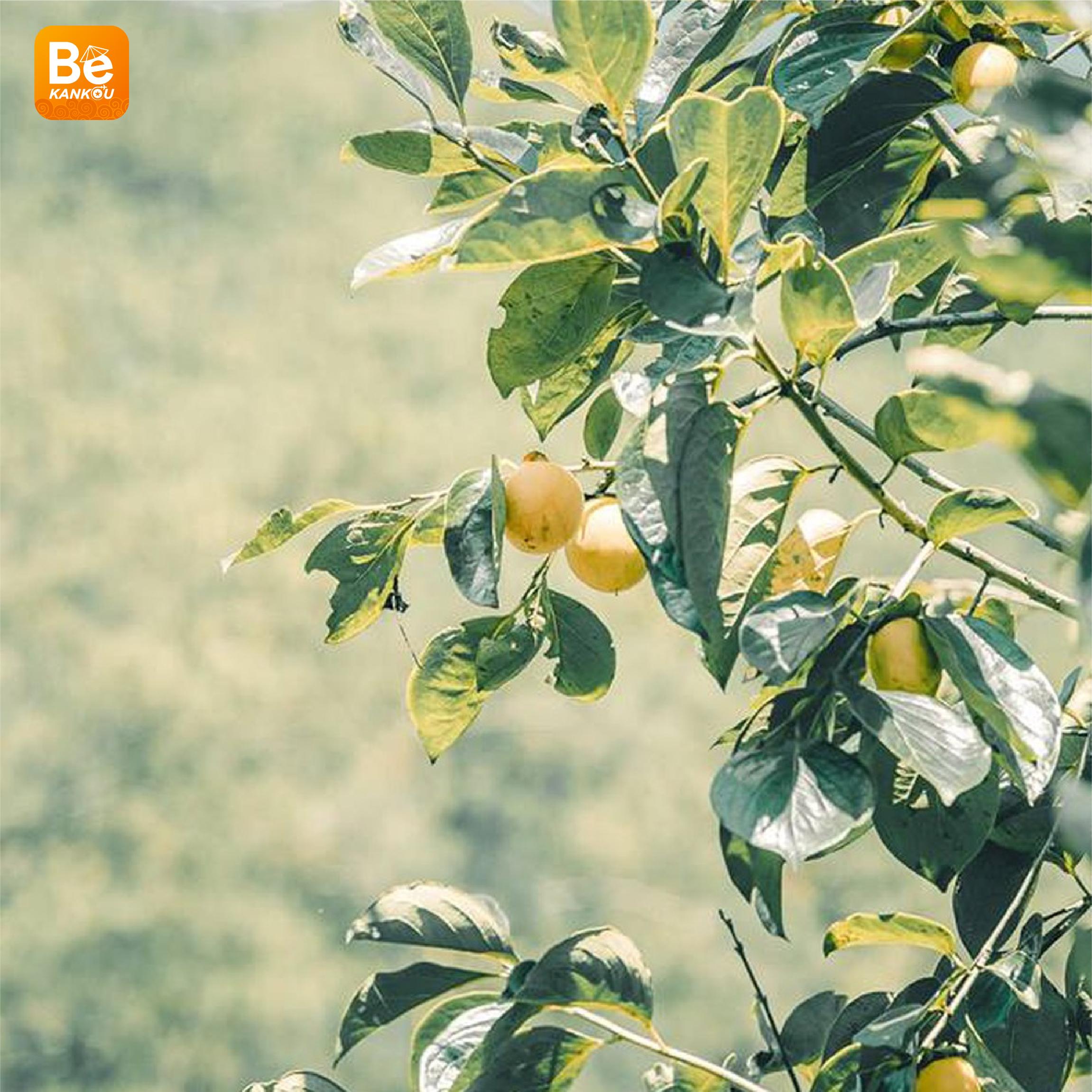 ダラットの「妖精の楽園のような柿畑」