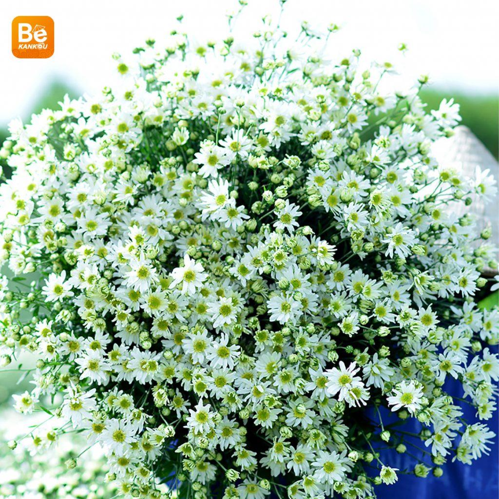 11月には、ハノイのデイジー(ヒナギク)の花に会う予定-111