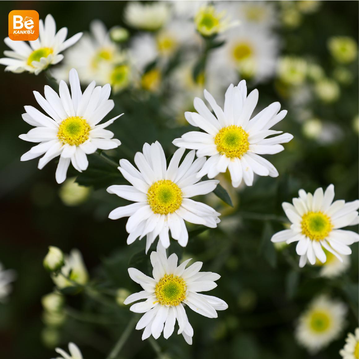 11月には、ハノイのデイジー(ヒナギク)の花に会う予定-110
