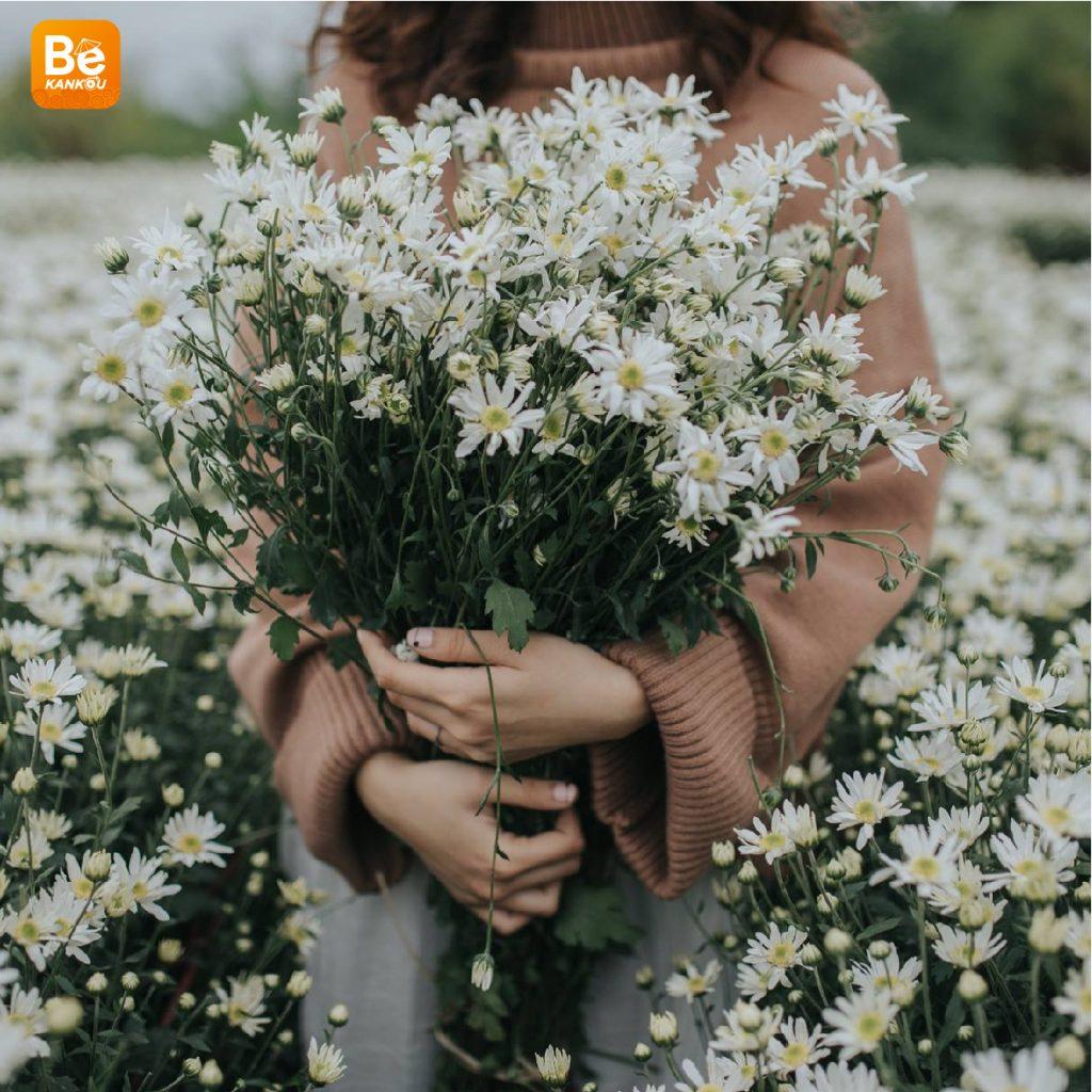 11月には、ハノイのデイジー(ヒナギク)の花に会う予定-13