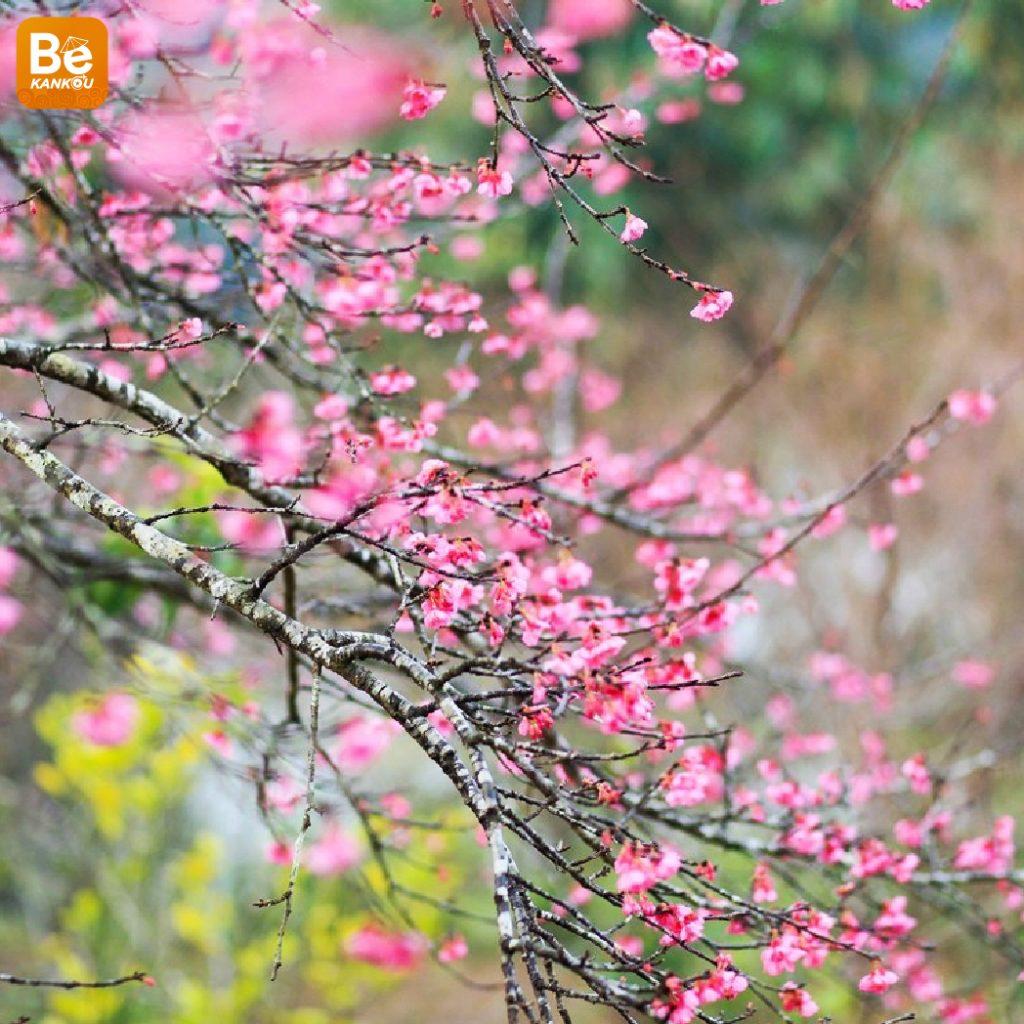 ハノイの第5回桜まつり-15